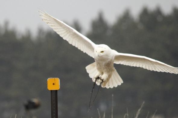 Snowy owl landing