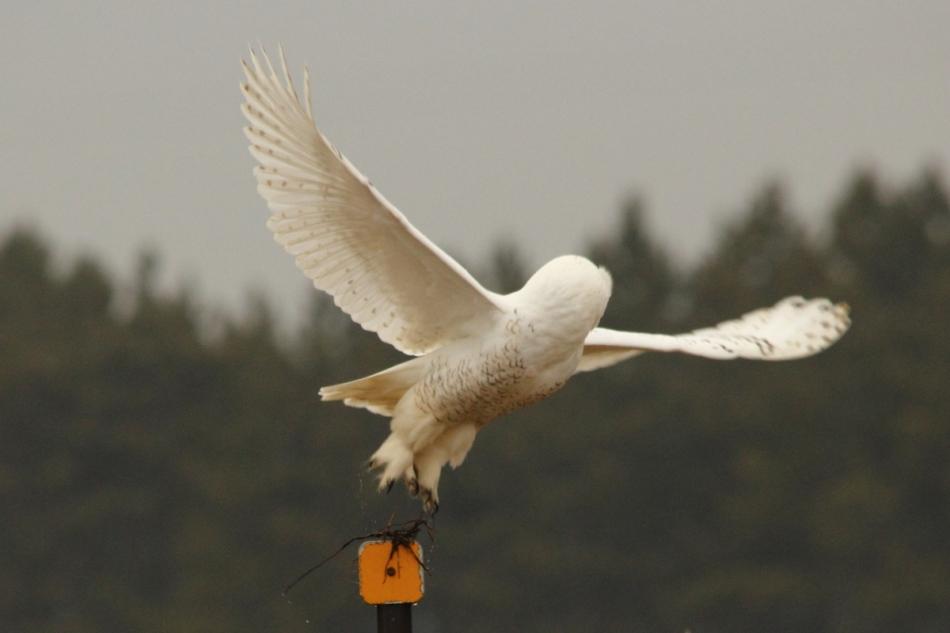 Snowy owl taking flight