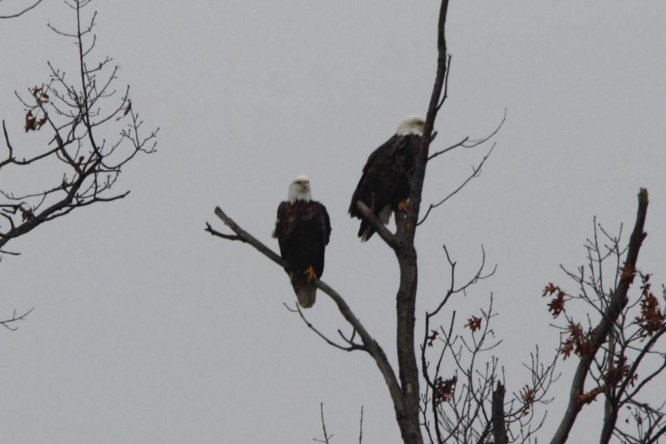 Adult bald eagles