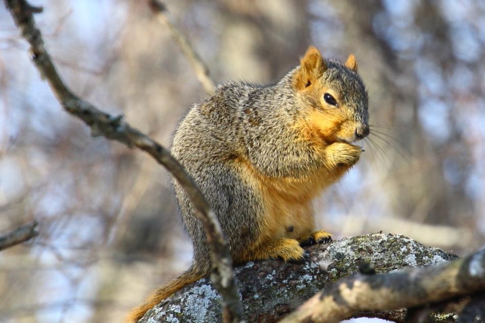 Fox squirrel loving the sunshine