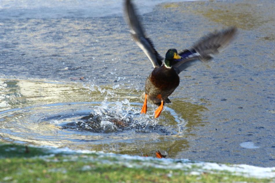 Male mallard taking off