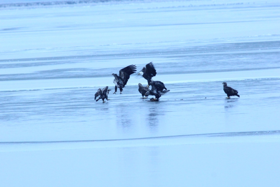 Seven bald eagles over a kill