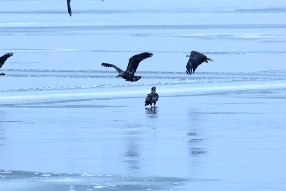 Bald eagles taking off