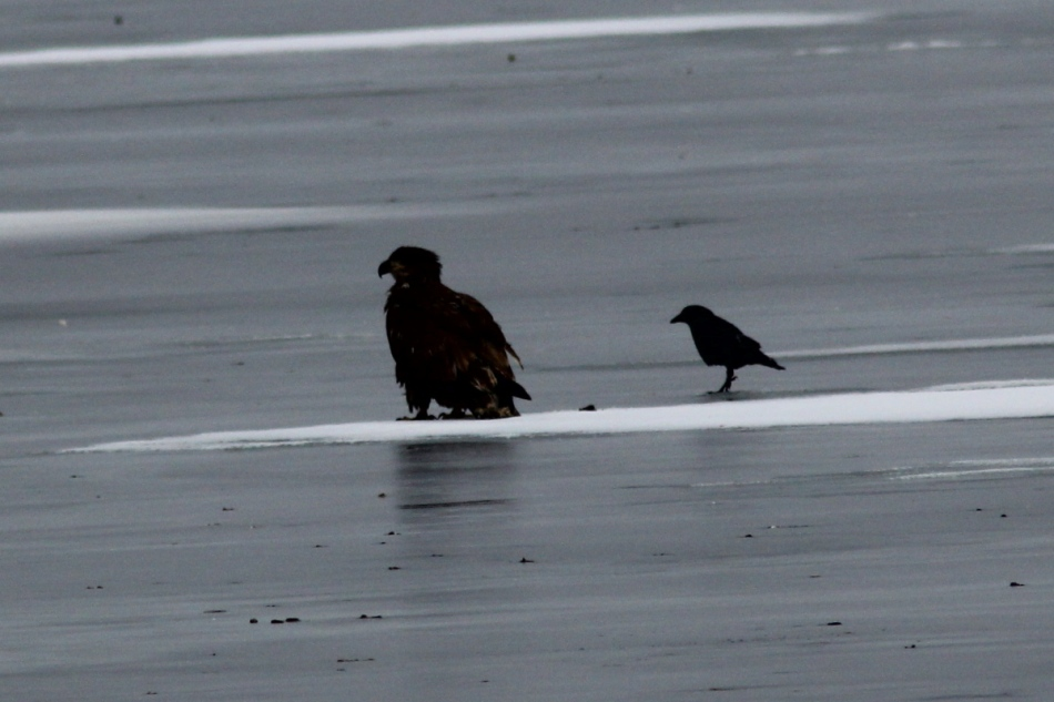 American crow walking past an eagle