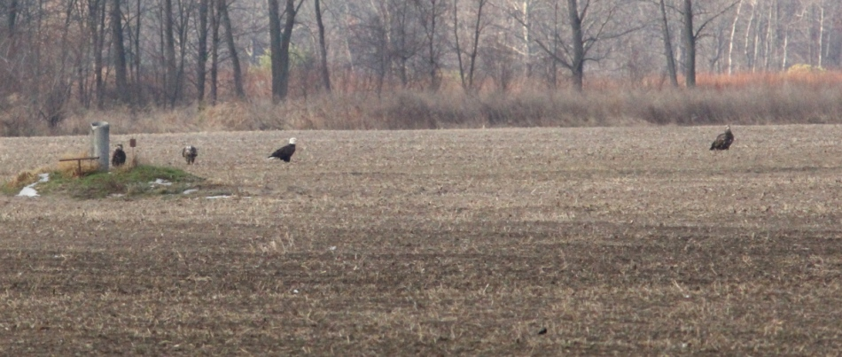 Four bald eagles in a field