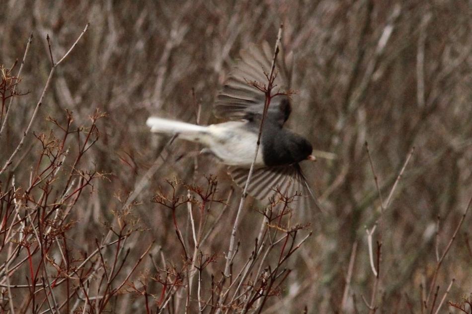 Dark eyed junco in flight