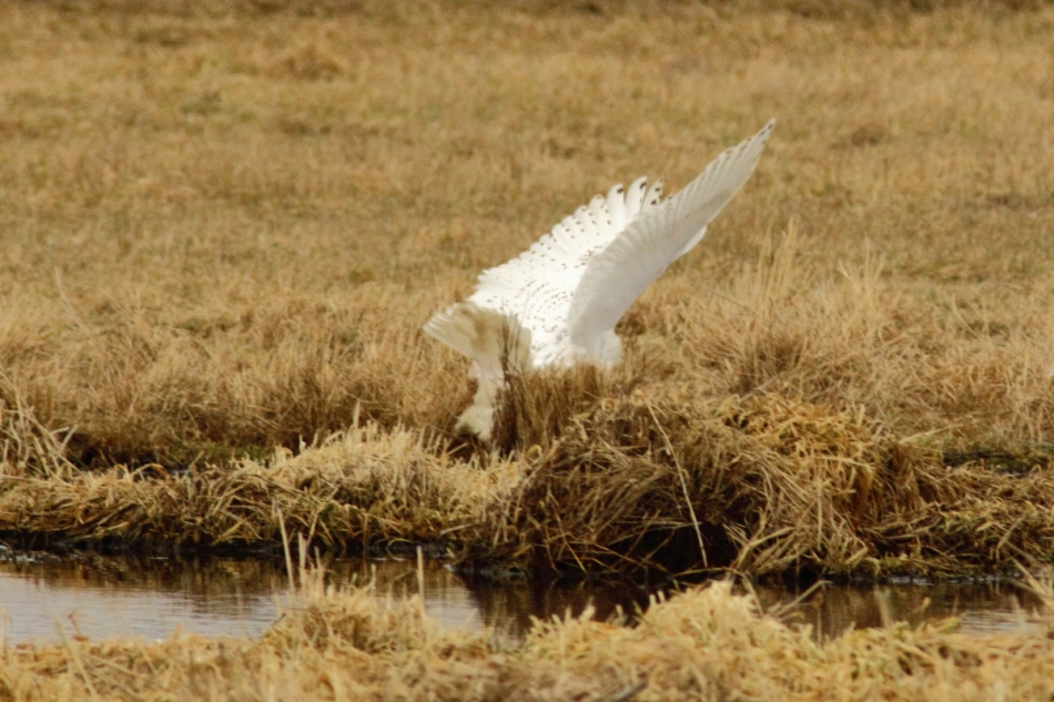 Snowy owl trying for a kill