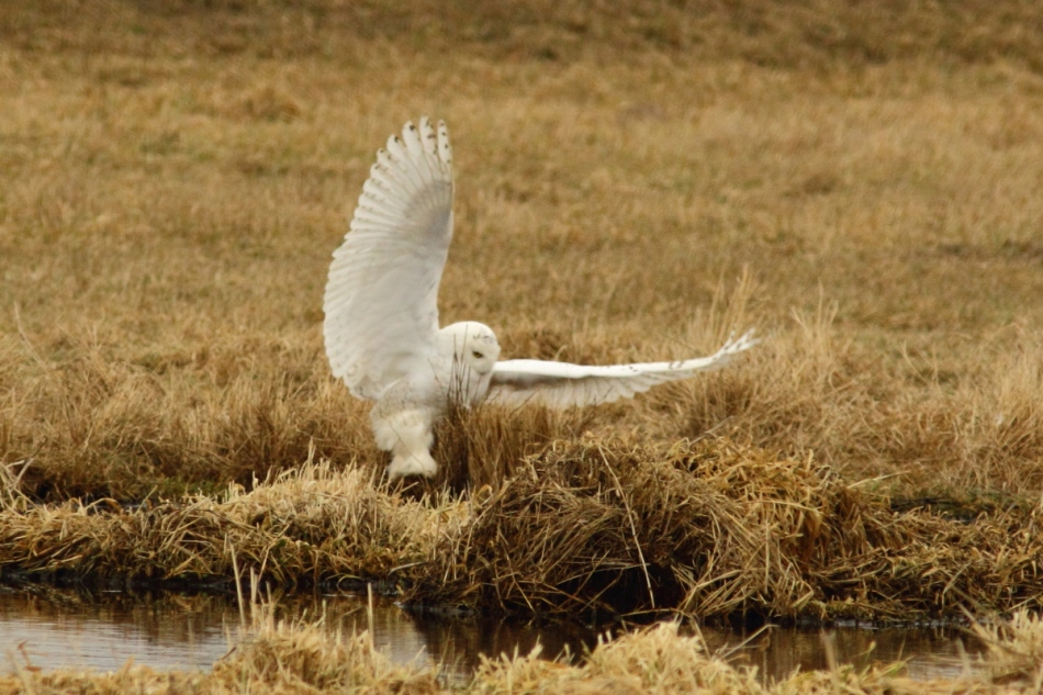 Snowy owl taking off