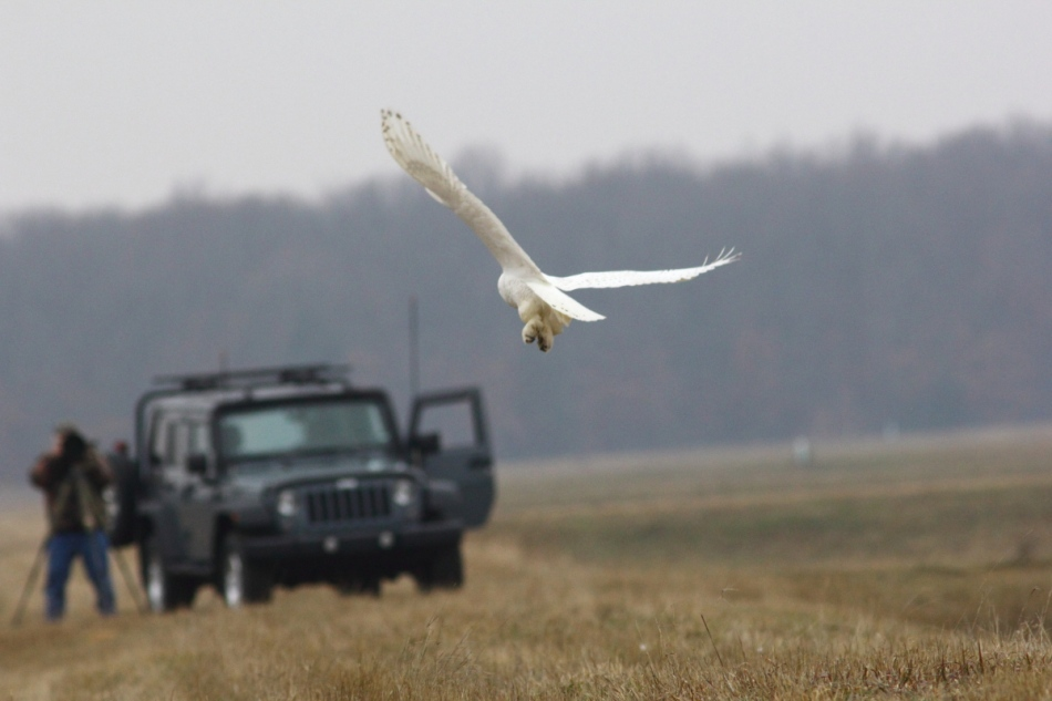 Snowy owl and photographer