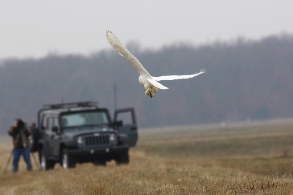 Snowy owl and photographer