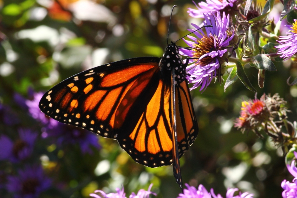 Monarch butterfly from during warmer weather
