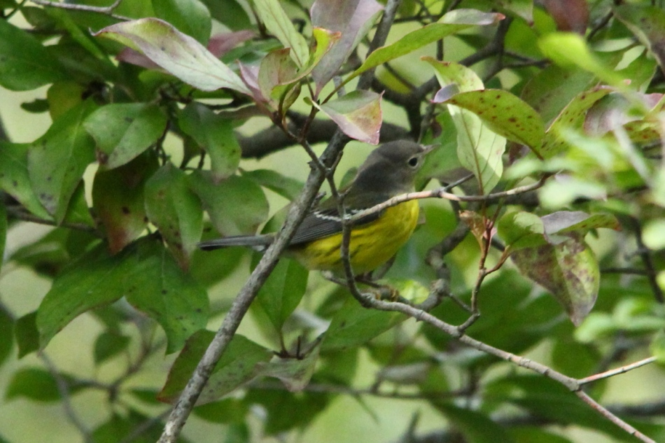 First year male Magnolia Warbler, Setophaga magnolia