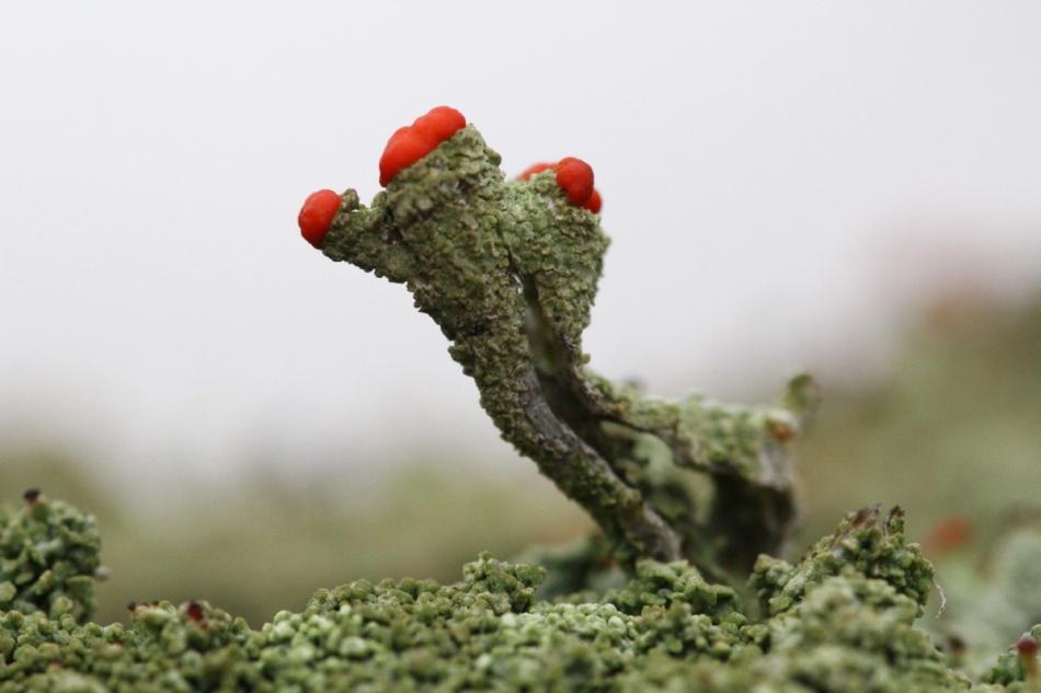 British soldier lichens