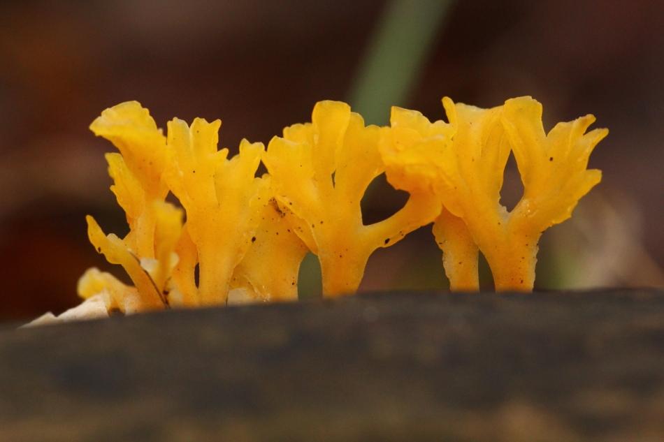 Coral fungi?