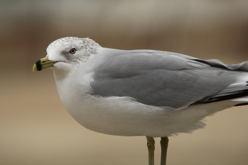 Ring-billed gull at 500 mm