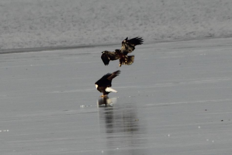 Immature bald eagle threatening an adult