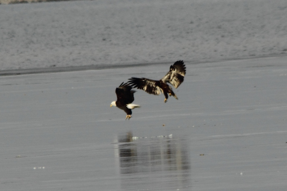 Immature bald eagle threatening an adult