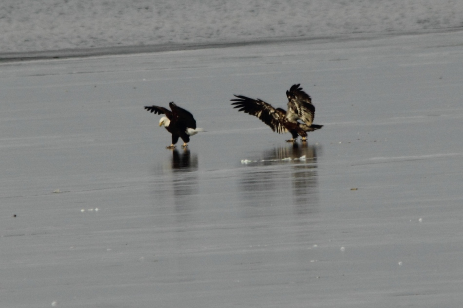Immature bald eagle and an adult