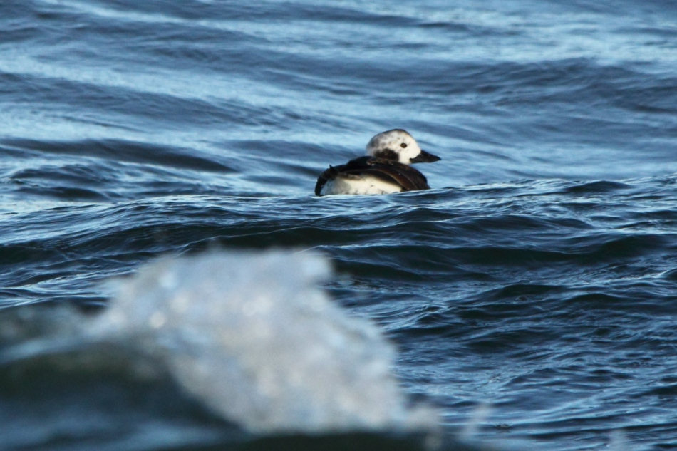 Juvenile long-tailed duck