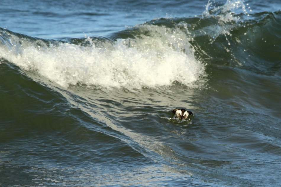 Juvenile long-tailed duck diving under a breaking wave