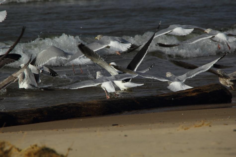 Gulls taking flight