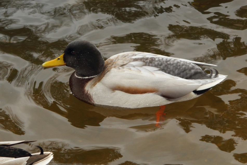 Hybrid male mallard with a black head