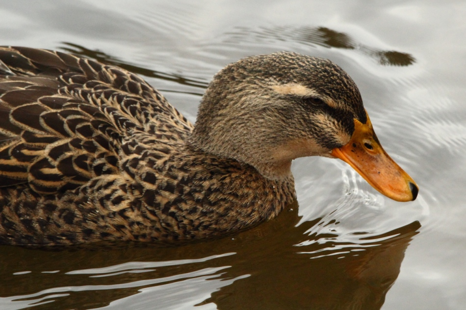 Black duck/mallard hybrid