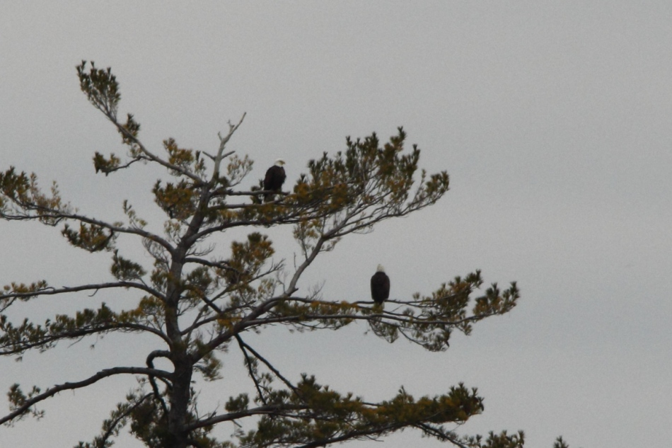 Two bald eagles at Lake Harbor Park