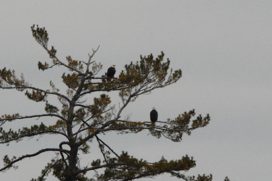 Two bald eagles at Lake Harbor Park