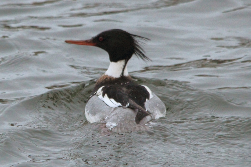 Male red-breasted merganser