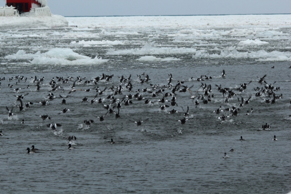 Mixed waterfowl taking flight