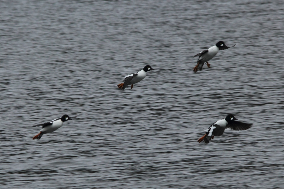 Male goldeneyes landing