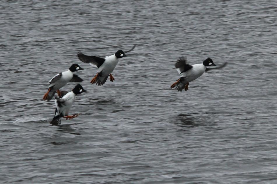 Male goldeneyes landing