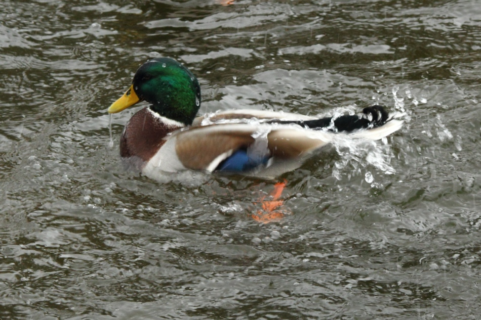 Male mallard bathing