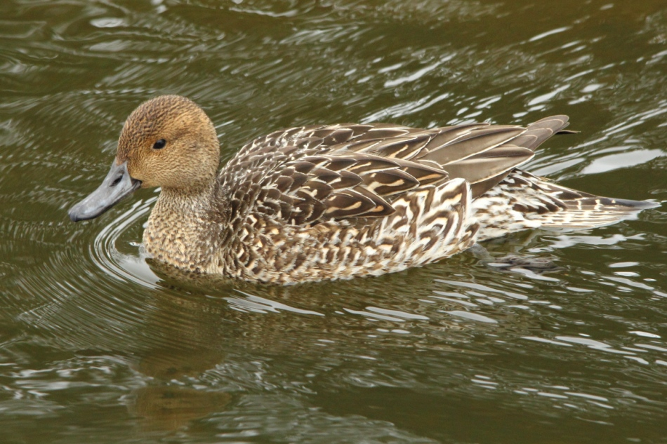Female green-winged teal?