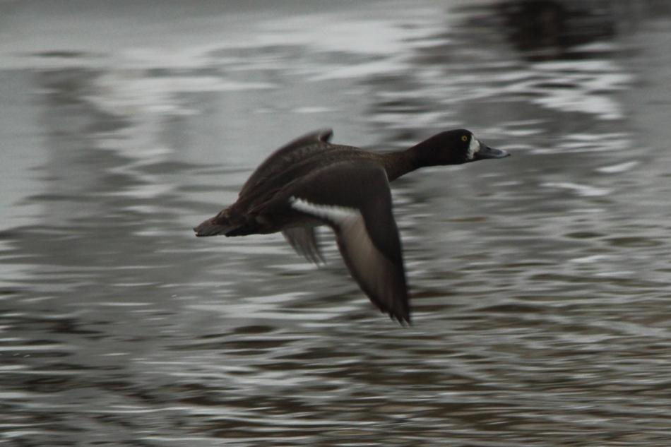 Female common goldeneye in flight