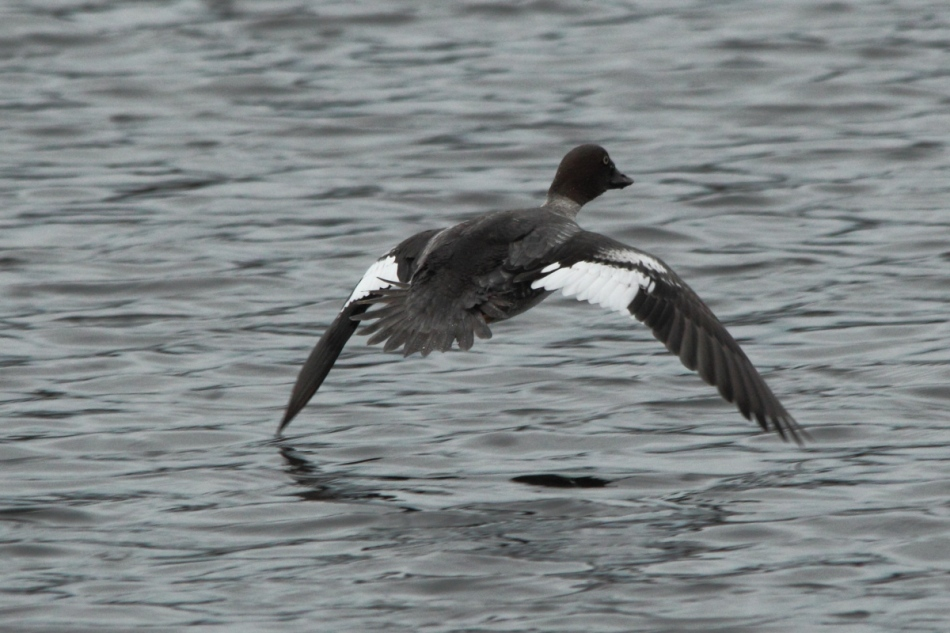 Female common goldeneye duck in flight