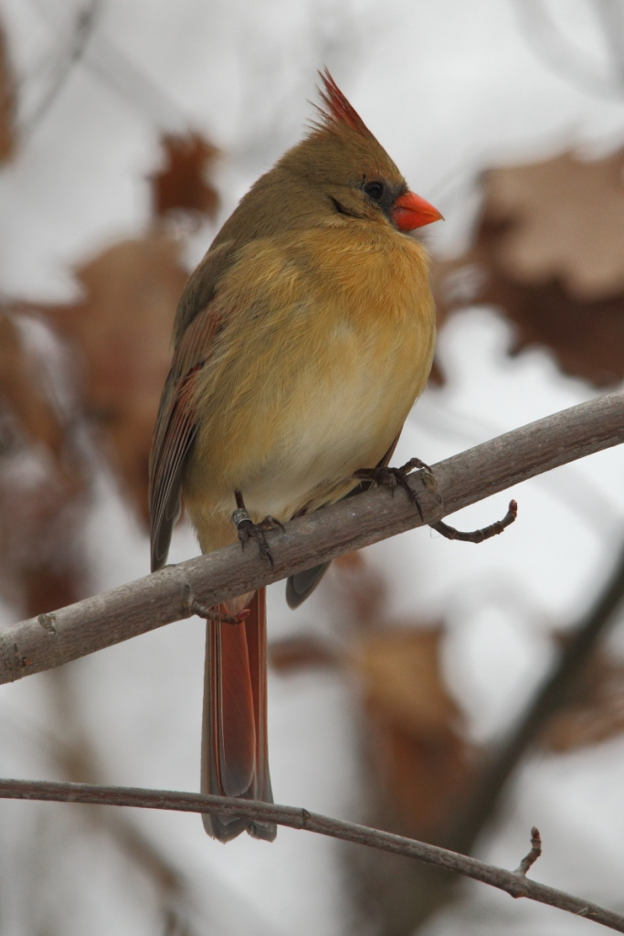 Female northern cardinal