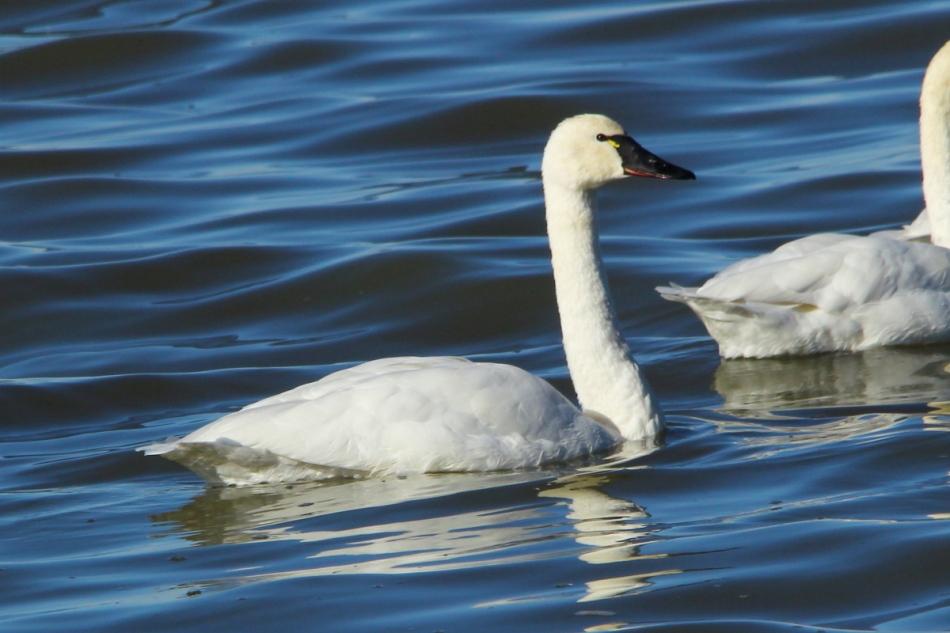 Tundra Swan, Cygnus columbianus