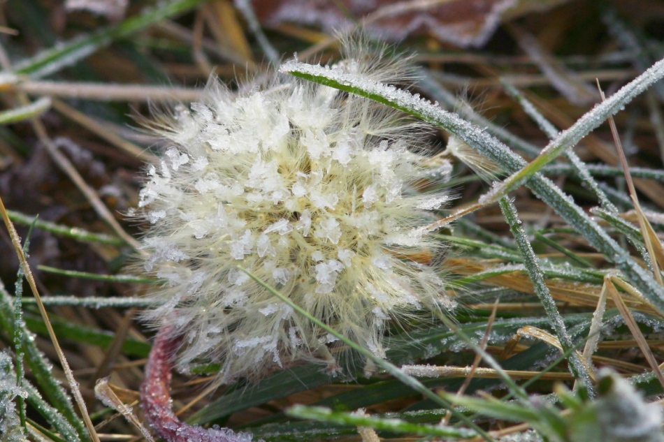 Frosty dandelion seeds