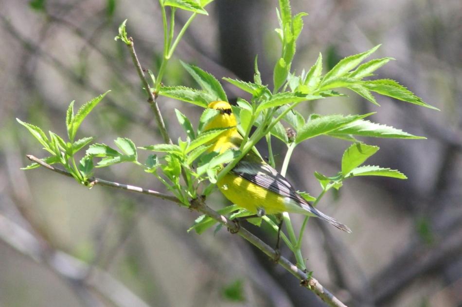 Blue-winged Warbler, Vermivora cyanoptera