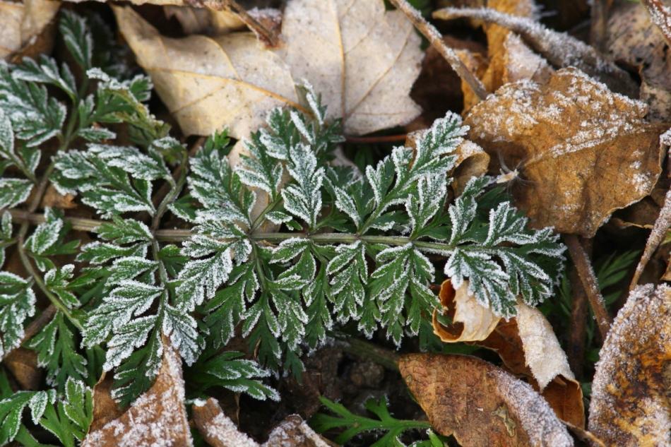 Frosty green 2