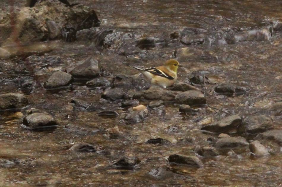 American goldfinch bathing