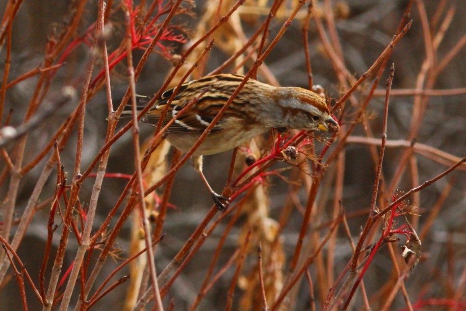 American tree sparrow eating berries