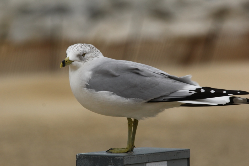 Ring-billed gull at 420 mm