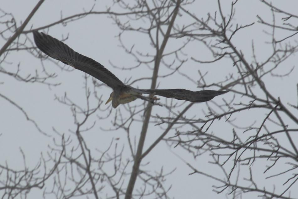 Great blue heron flying on a snowy, foggy day