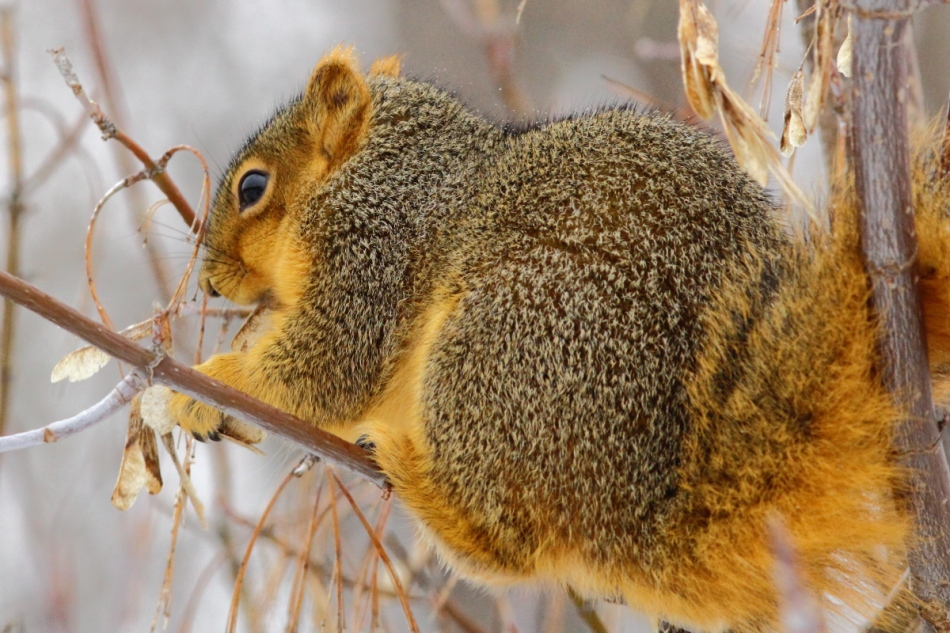 Fox squirrel eating box elder seeds