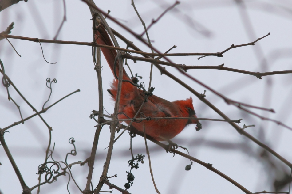 Male northern cardinal eating grapes
