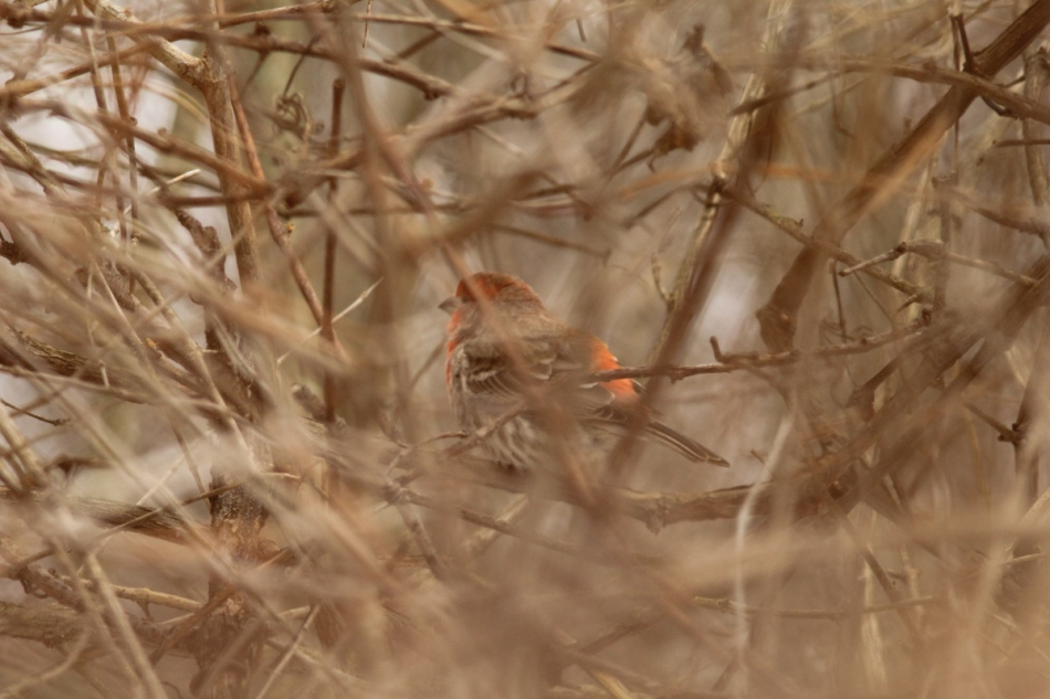 Hidden male house finch singing