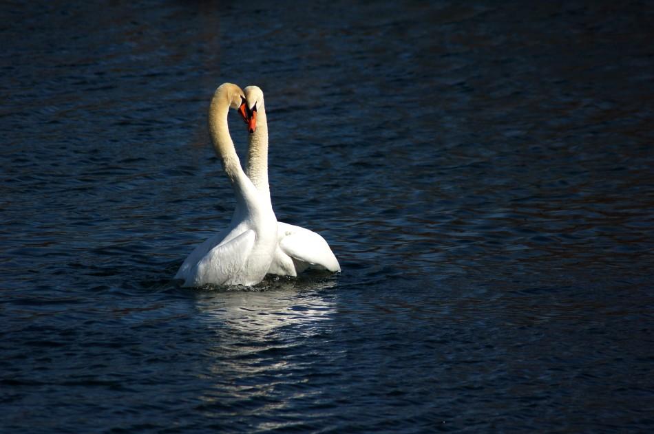 Mute swan courtship